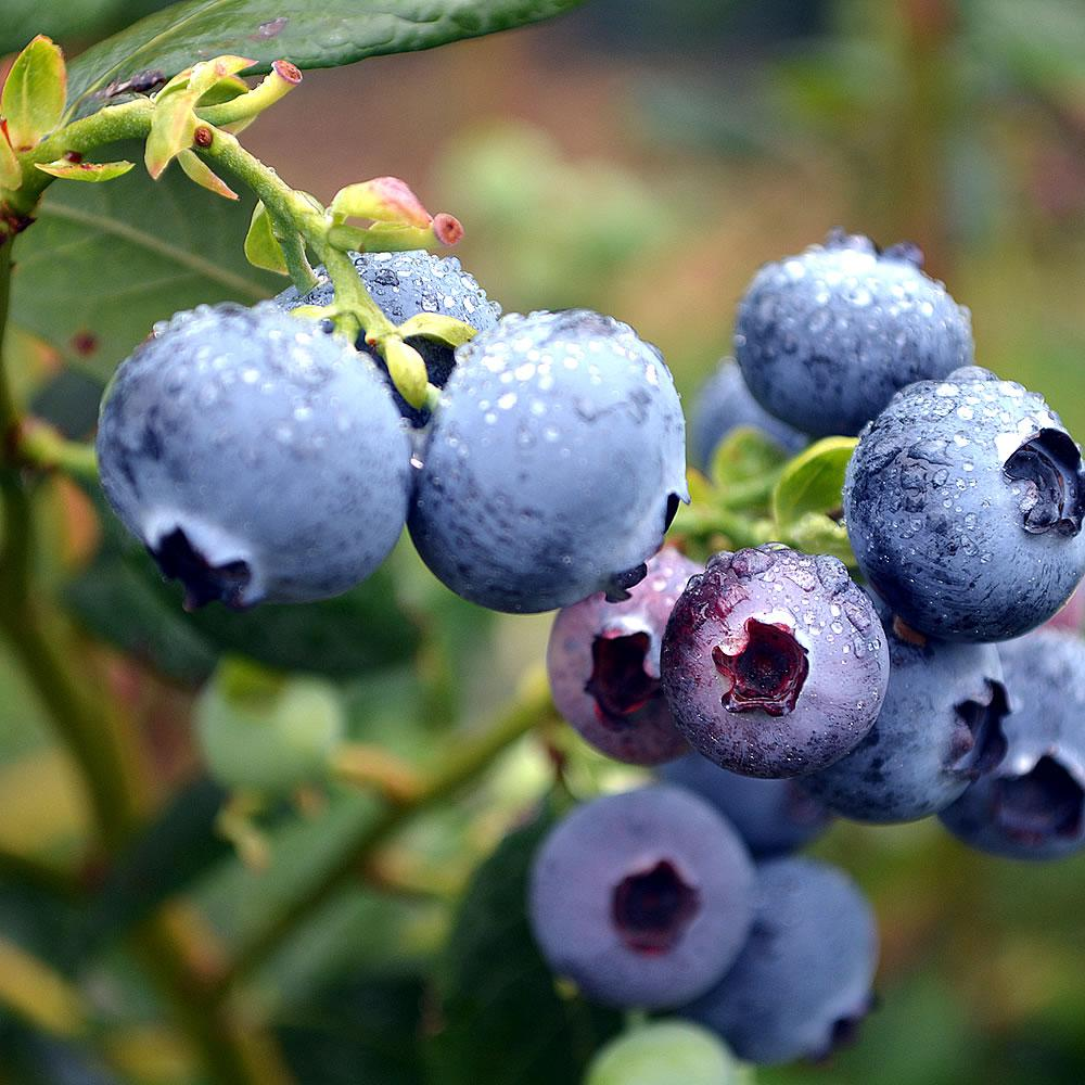 [Blueberries]